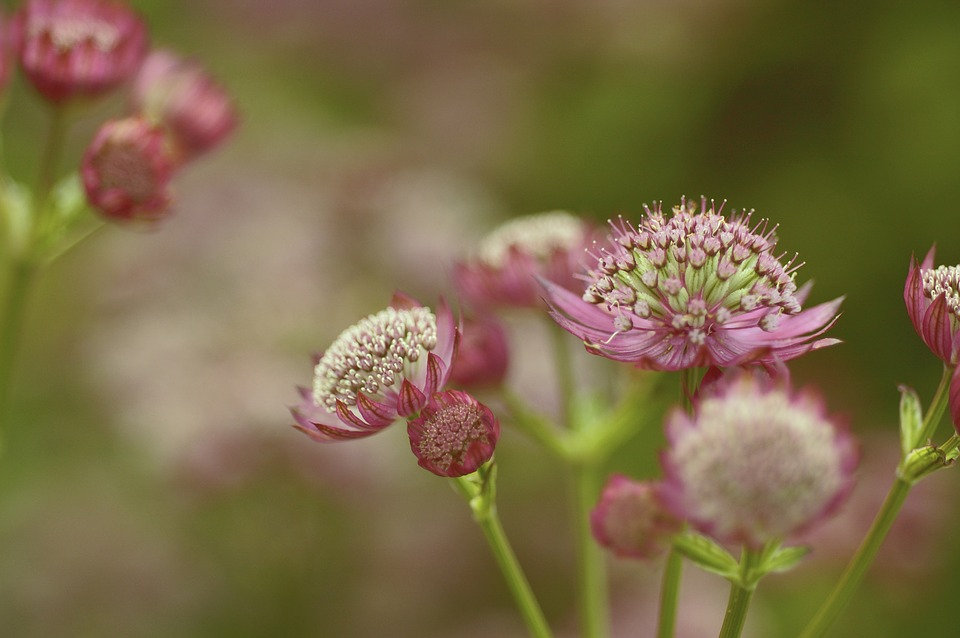 astrantia-major-2181823_960_720