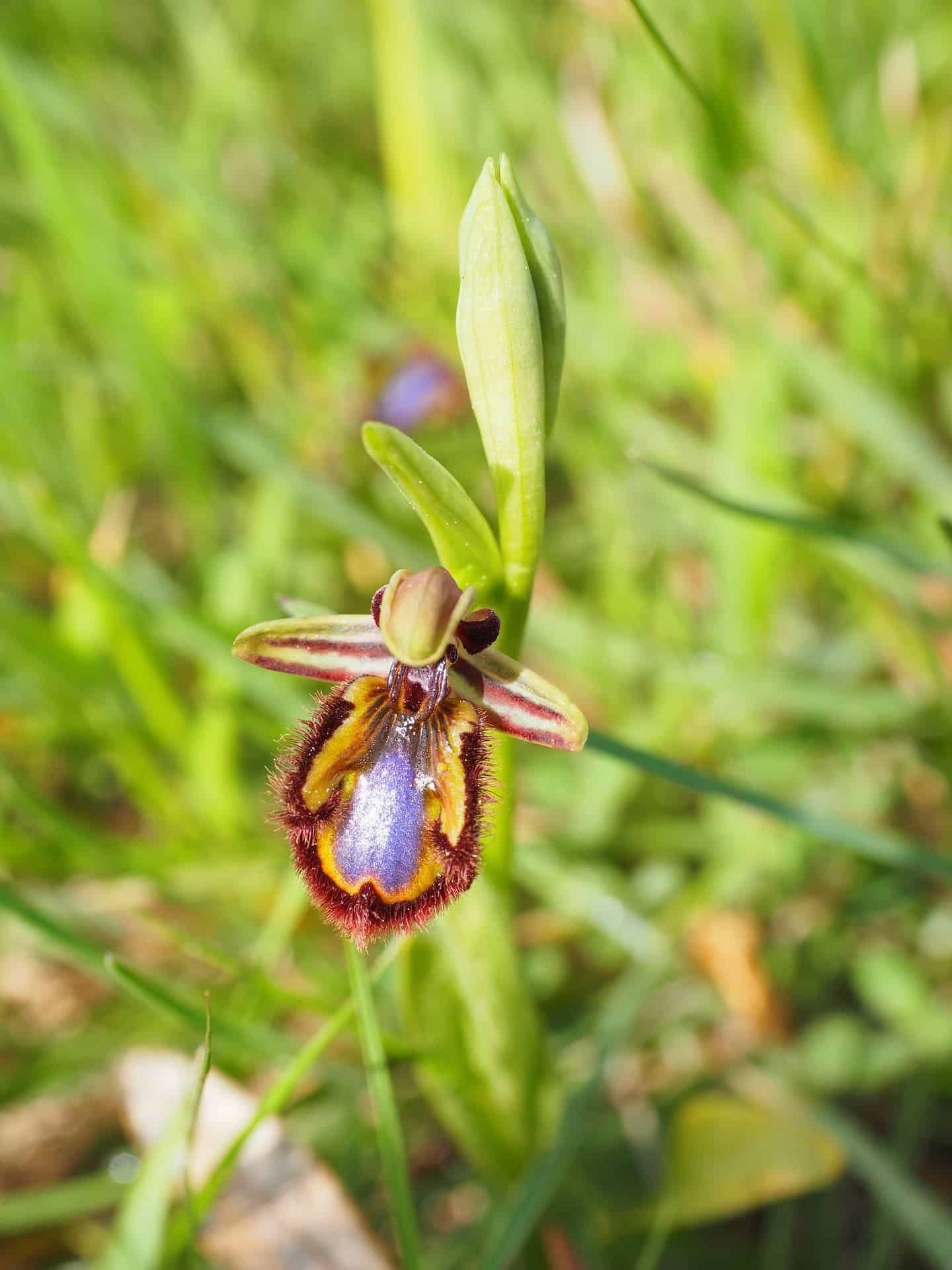 ophrys-speculum1203488_1920 (2)