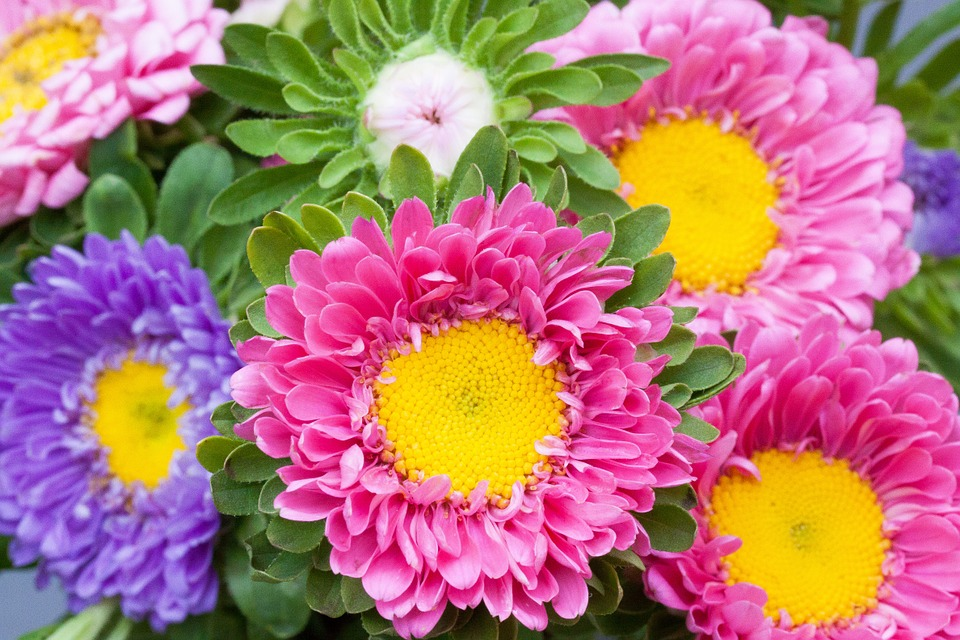 asters-931622_960_720