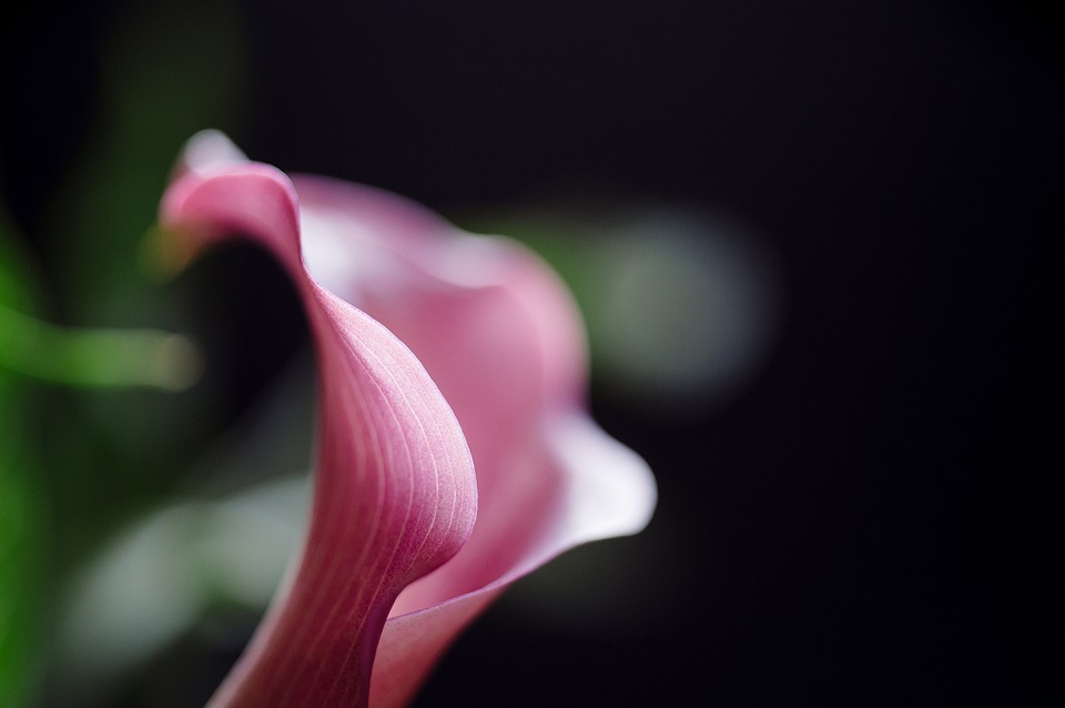 calla-lilly-1599324_960_720